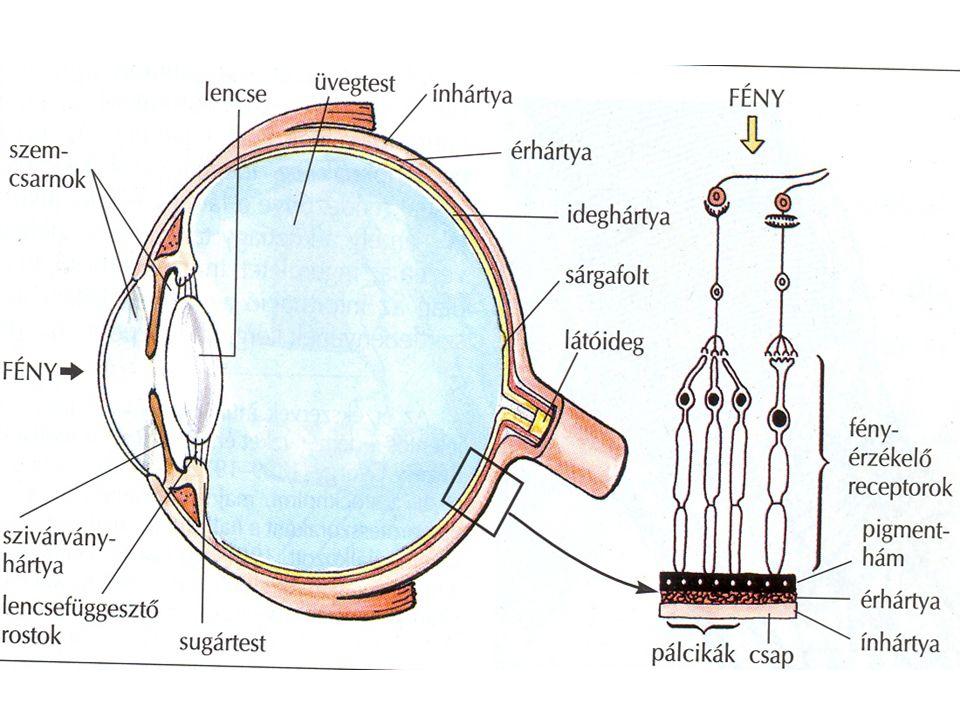 a látás receptor)