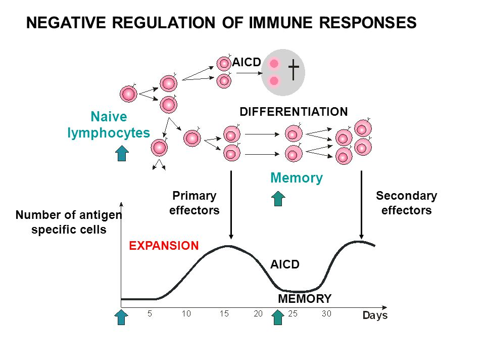 NEGATIVE REGULATION OF IMMUNE RESPONSES Naive lymphocytes Number of antigen specific cells Primary effectors Secondary effectors Memory DIFFERENTIATION AICD EXPANSION AICD MEMORY